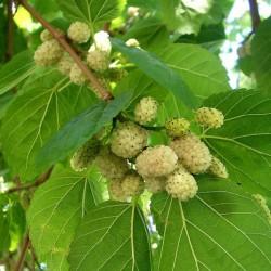 Mulberry (Λευκό Μούρο)